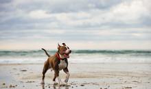American Pit Bull Terrier Runn...
