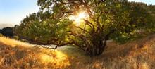 Beautiful Tree At Sunset On Go...