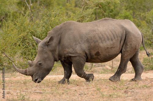 Spoed Foto op Canvas Neushoorn Large lone African White rhinoceros grazing and moving through the bush