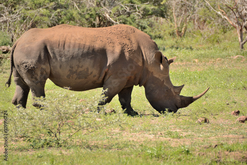 Foto op Aluminium Stierenvechten Large lone African White rhinoceros bull grazing peacefully in a clearing