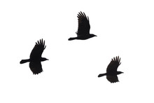 Carrian Crows In Flight