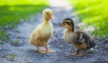 Ducklings Outdoor In The Green Grass