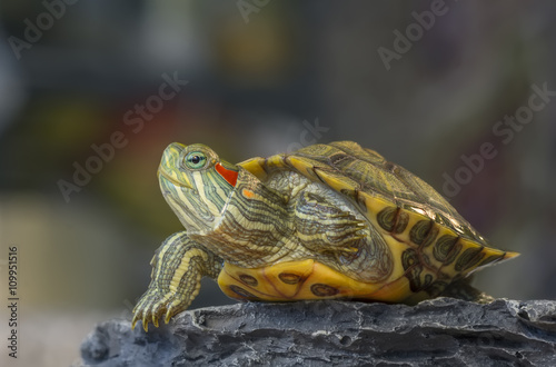 obraz lub plakat Turtle on a rock / Little turtle on a rock on a gray background with bokeh