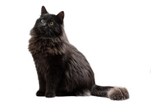 Long-Haired Black Cat On A White Background