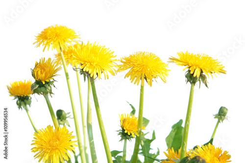 Fotografie, Obraz  Dandelion (Taraxacum officinale) isolated on white background
