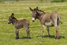 Mother And Baby Donkeys
