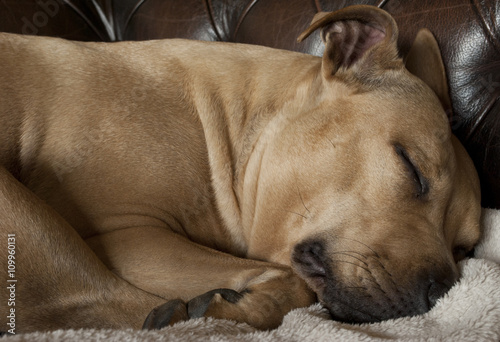 Poster Dog close-up van slapende hond, amerikaanse staffordshire terrier