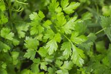 Fresh Green Parsley Growing In...