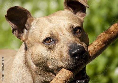 Poster Dog portret van een blije spelende hond, Amerikaanse staffordshire terrier, met stok in bek
