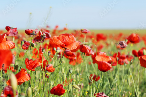 Fototapety, obrazy: Red poppy flowers field, close up