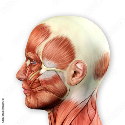 Male Face Muscles Anatomy - Buy this stock illustration and explore ...