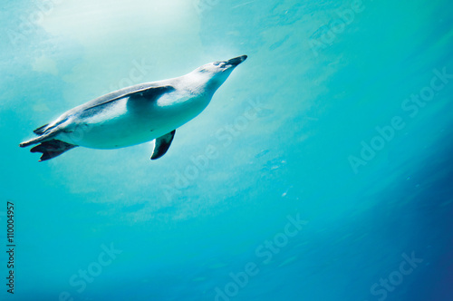 Conception of diving penguin plunged in blue water.