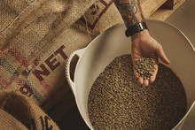 Tattooed Barista Hand Holds Raw Green Coffee Beans From White Plastic Basket, Above Cotton Bags On Europalet In Warehouse. New Import From Plantations And Farm, Peeled And Ready To Roast