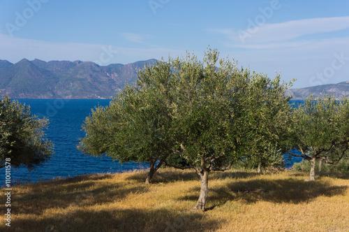 Papiers peints Oliviers Champ d'oliviers près de la mer, Péloponnèse, Grèce