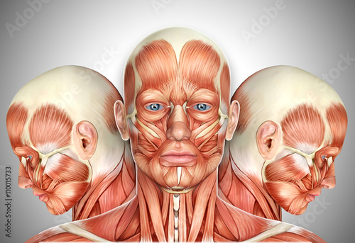 3d Male Face Muscles Anatomy with side views - Buy this stock ...
