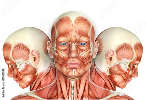 Fotografia 3d Male Face Muscles Anatomy with side views