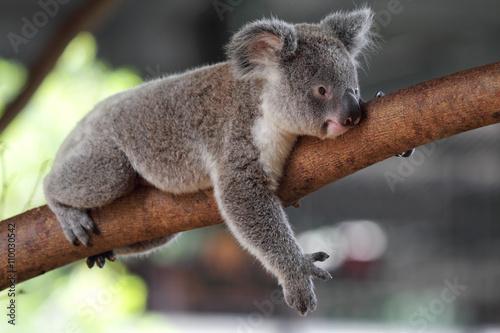 Garden Poster Koala Koala (Phascolarctos cinereus)