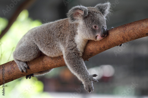 Staande foto Koala Koala (Phascolarctos cinereus)