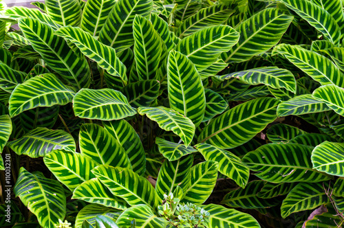 Fotografia  Bright green striped leaves of exotic tropical plant