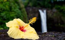 Yellow Hibiscus Near Rainbow Falls