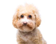 Poodle Dog Isolated On White