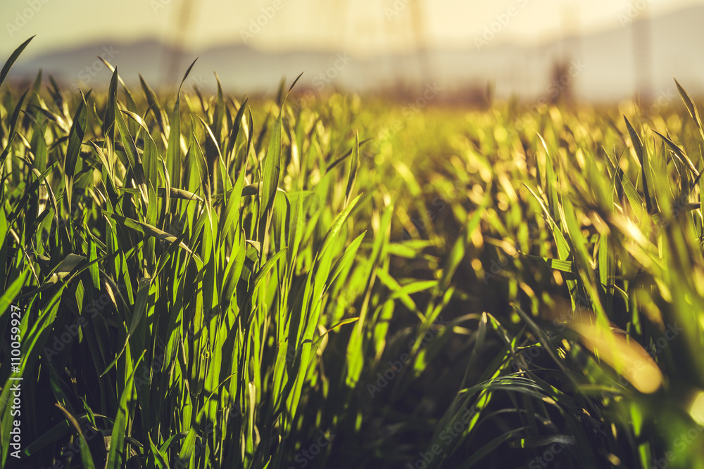 Fototapety, obrazy: Low angle closeup in a young green rye field in the morning warm sunlight. Shallow depth of field.