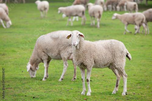 Foto op Canvas Schapen Sheep grazing on a green meadow