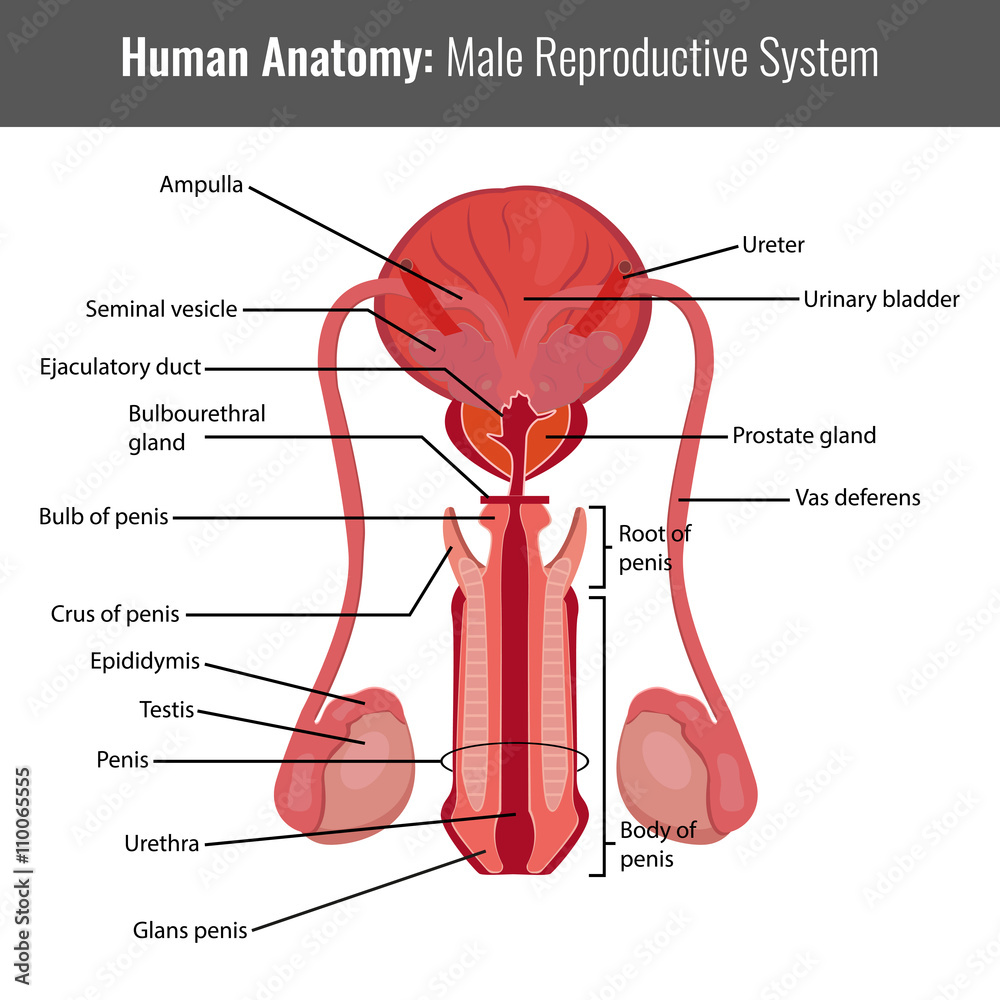 Photo Art Print Male Reproductive System Detailed Anatomy Vector
