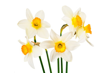 Beautiful Spring Flowers Narcissus on White Background