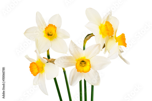 Deurstickers Narcis Beautiful Spring Flowers Narcissus on White Background