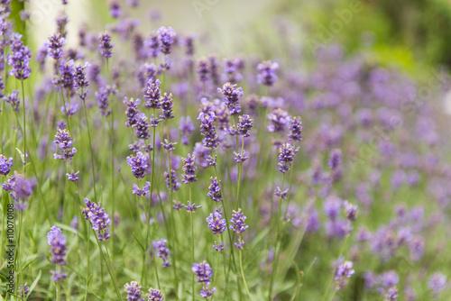 Aromatyczna lawenda rosnąca na łące - 110070108