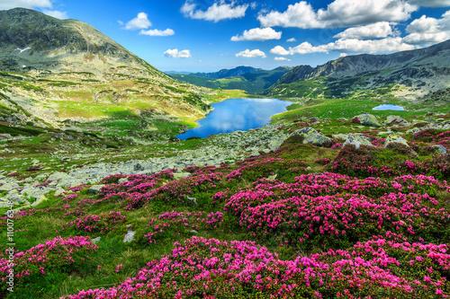 Fototapeta  Spectacular rhododendron flowers and Bucura mountain lakes,Retezat mountains,Rom