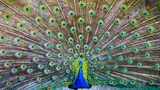 Fototapeta Zwierzęta - A beautiful male peacock with expanded feathers