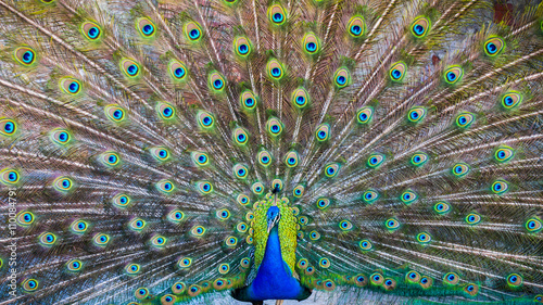 In de dag Pauw A beautiful male peacock with expanded feathers