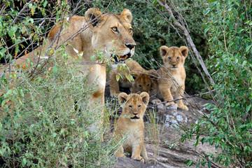 Fototapeta Lew Female Lion with cub