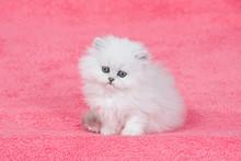 Silver Chinchilla Persian Kitten On Pink Background