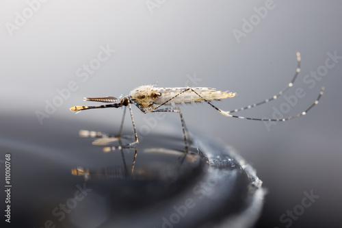 Photo Newborn anopheles dirus mosquito