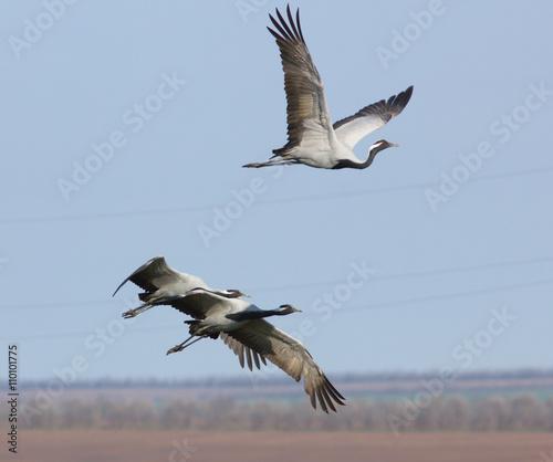 Demoiselle cranes (Anthropoides virgo ) in flight above the field of Kalmykia, R Canvas Print