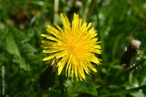 Obraz na plátně sow-thistle flower
