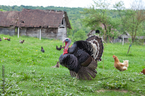 Black turkey in the countryside