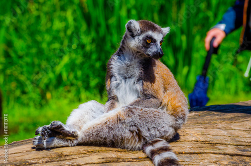 tourist are passing by ring-tailed lemur (lemur catta) in an open enclosure in t Plakat