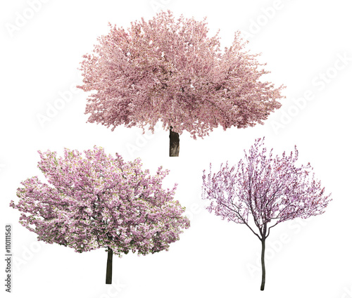 Foto op Canvas Bomen Blossoming pink sacura trees isolated on white
