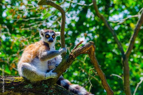 ring-tailed lemur (lemur catta) Billede på lærred