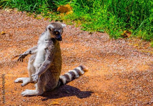 ring-tailed lemur (lemur catta) Plakat