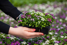Seedling Holding Close Up Of Pretty Pink, White And Purple Alyssum Flowers,  The Cruciferae Annual Flowering Plant