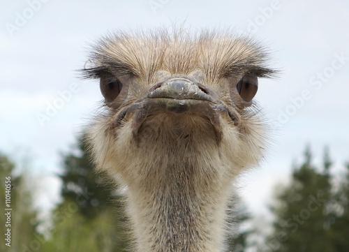 Autocollant pour porte Autruche Close-up portrait of a single ostrich Struthio camelus