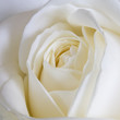 canvas print picture White Rose