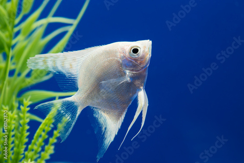 Photo Angelfish (Pterophyllum scalare)