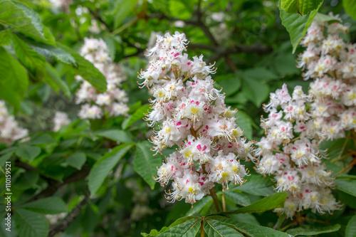 European horse-chestnut (Aesculus hippocastanum) tree in blossom.