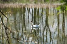White Swan Swimming On The Lak...